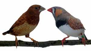 Las dos especies sujetos de estudio. A la izquierda la Isabelita de Japón, a la derecha el Mandarín Listado.