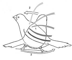 Actos de la exhibición de alarma de la Isabelita de Japón. 1: Aleteo. 2: Golpe lateral de cuerpo y cola.